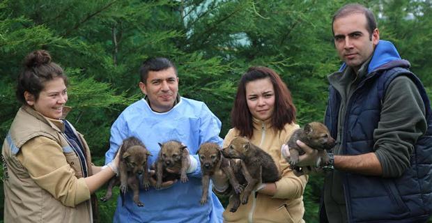 Kurt yavrularını Büyükşehir korumaya aldı
