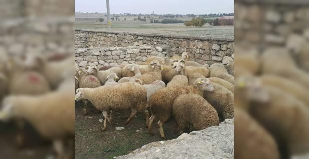 Genç Çiftçi projesi kapsamında 170 küçükbaş hayvan sahiplerine ulaştı