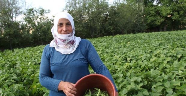 Afyonkarahisar'da fasulye hasadı başladı