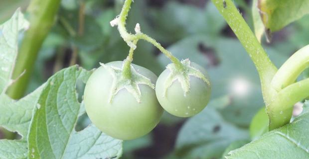 Herkes domates sanmıştı, bakın ne çıktı