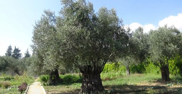 810 yıllık zeytin ağacı turizme hizmet ediyor