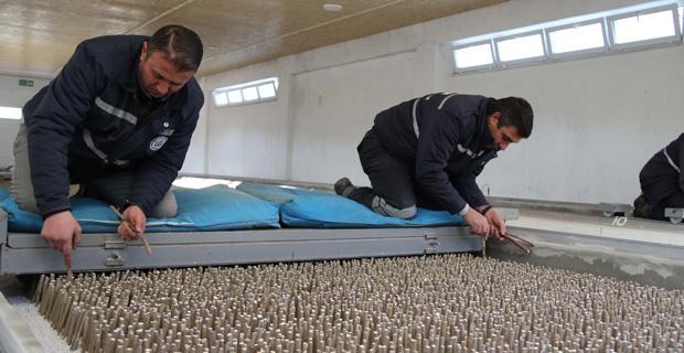 Büyükşehir binlerce dut fidanı üretiyor