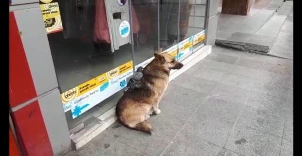 Güvercin ve köpeğin şaşırtan dostluğu