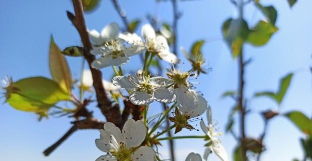 Armut ağacı Ağustos'ta çiçek açtı