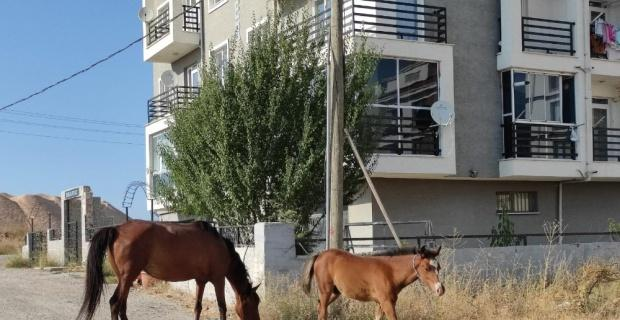 Başıboş atlara çözüm bulunamıyor
