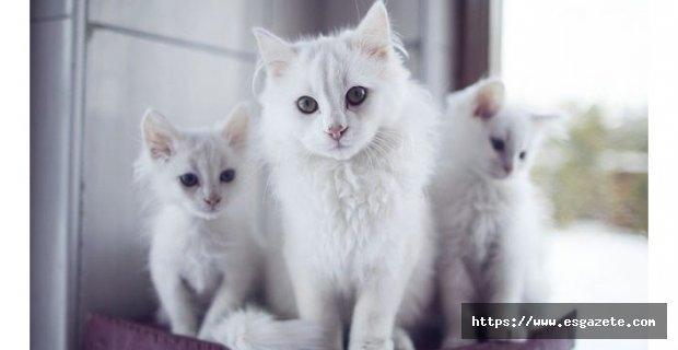 Ankara kedisi özellikleri nedir?