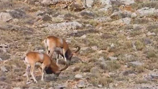 Kumalar dağına 30 yaban koyunu yerleştirildi