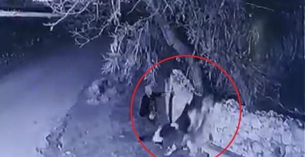 Buzağı çalan hırsızlar güvenlik kamerasında