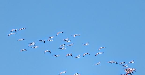 Marmaris'ten Flamingolar geçti