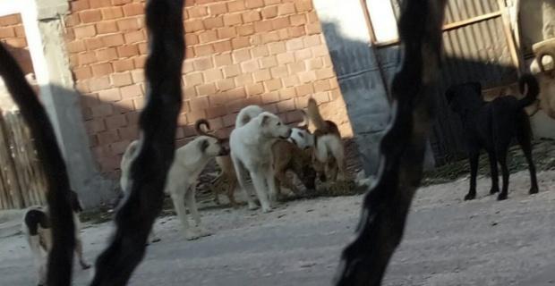 Mahalleyi köpekler işgal etti!