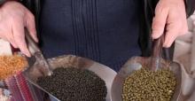Anadolu harikası, siyah maş fasulyesi
