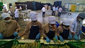Türkiye'nin kuşkonmaz üretim merkezlerindenEskişehir'de hasat başladı
