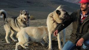 Köpeklerin koyun sürüsüne saldıran kurdu öldürme anları kamerada