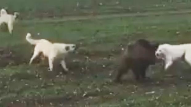 Domuz ile köpeklerin amansız mücadelesi!