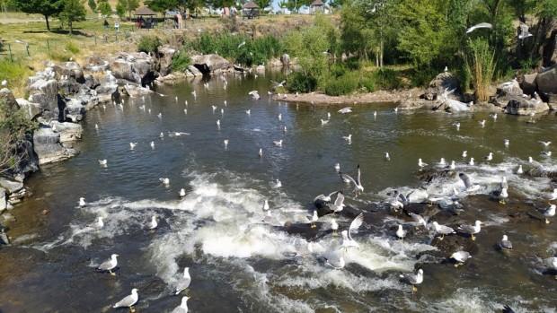 İnci kefallerinin göç macerası son buldu