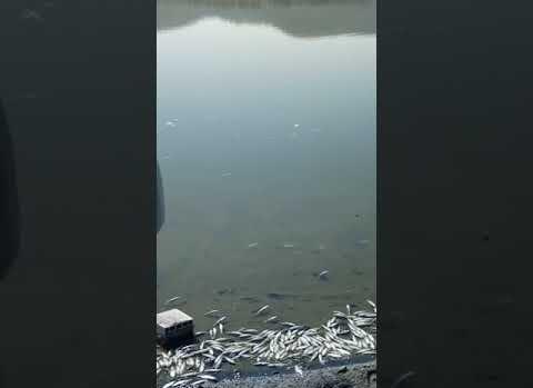 Porsuk barajında toplu balık ölümleri