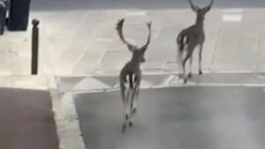 Paris sokaklarına geyikler indi
