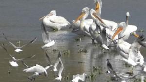 Pelikanların avlanması kameralara yansıdı